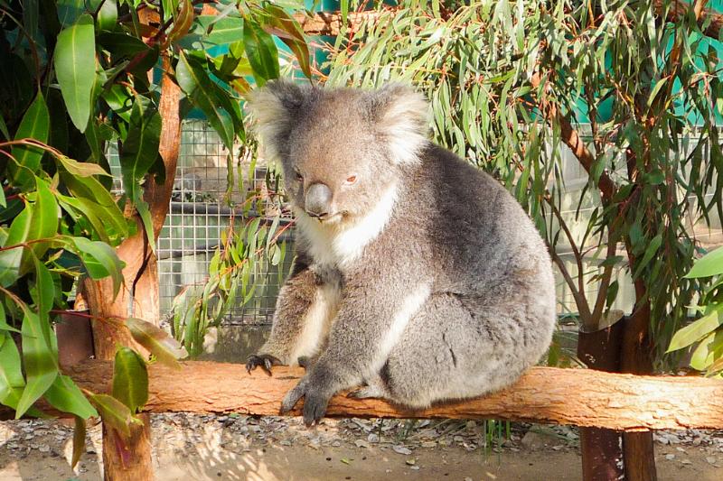 Australia, koalas, Lone Pine, Brisbane, santuário de koalas, Sydney